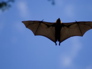 relanzon-inaki-madagascar-flying-fox-fruit-bat-in-flight-berenty-private-reserve-south-madagascar
